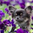Dog Walking Journal 100 Pages: Chihuahua Purple Flowers Column Headings 7.44x9.69 for Dog Walkers by Gilded Penguin Publishing Cover Photo